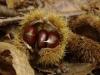 tamme-kastanje-vrucht